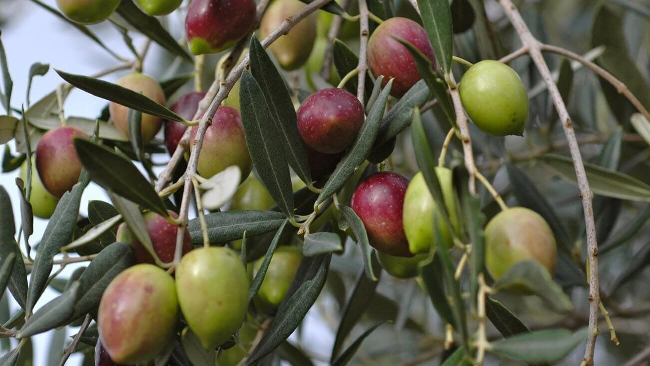 Выращивание оливкового дерева из веточки 19